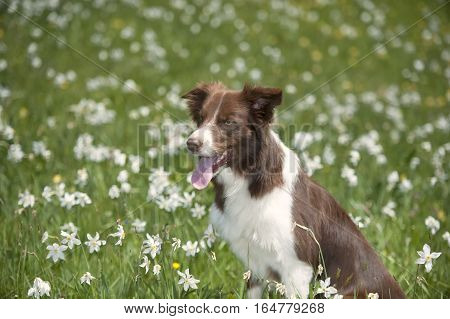 Border collie in daffodil field. Brown border collie sitting in daffodil field. Photography of a dog surrounded with narcissus flowers.