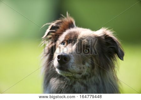 Portrait of red merle Australian shepherd. He is looking with cute expression.
