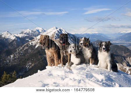 Four 4 dogs sitting together on the top of the mountain. They are purebred dogs: airedalle terrier, australian shepherd, belgian malinois, bearded collie, border collie. Obedient cute dogs different colors smiling on a snow. It is beautiful sunny backgrou