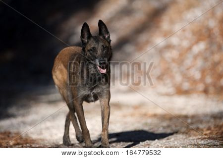Belgian Sheepdog walking attentively on a sunny autumn day. He is relaxed, but his ears are up listening what is around him