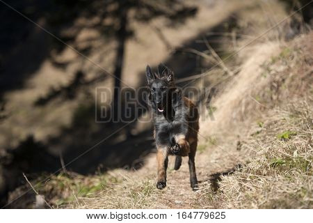 Jumping Belgian Shepherd puppy. He is happy and running through the forest