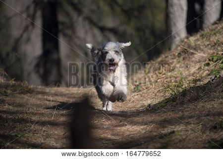 Cute Bearded Collie enjoying in forest. He is running as fast as he can.