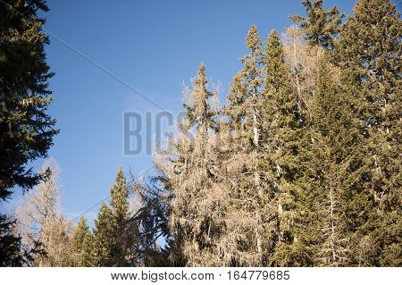 Coniferous trees in forest. Larch trees without needles and spruce trees in winter time.