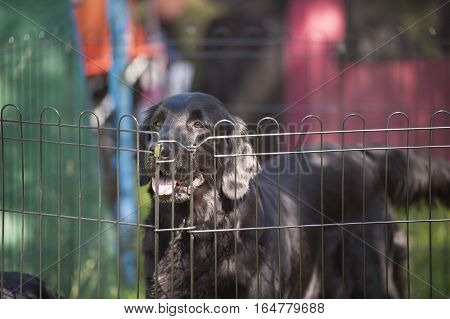 Black dog flat-coated retriever behind the fence happily waiting his owner on outdoors dog show, exhibition