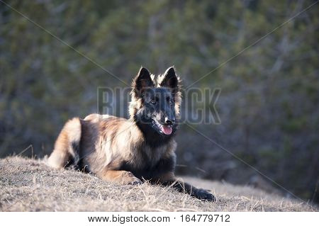 Belgian Shepherd puppy lying down (long hair)