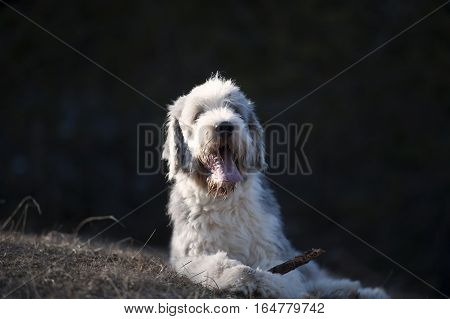 Happy Bearded Collie lying with a sick between his paws