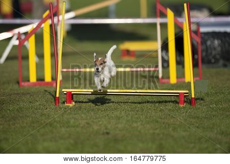 Parson Russell terrier jumping over bar jump on agility competition