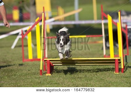 Grey Border collie dog jumping over obstacle on agility competition