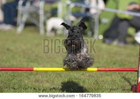 Photography of Scottish Terrier dog on agility course.