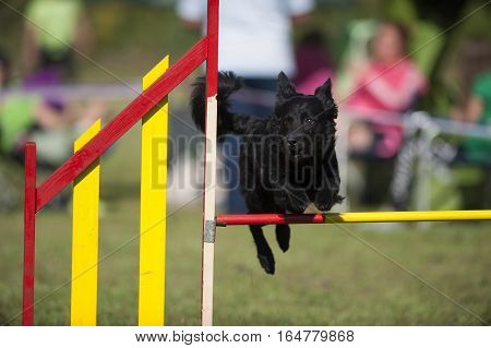 Croatian sheepdog jumping on agility competition. He is caught in a jump.