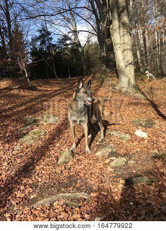 Belgian shepherd in woods. Dog wolf is guarding his forest