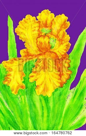 Yellow iris on blue background hand painted picture watercolours