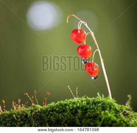 May Lily Toxic Fruits