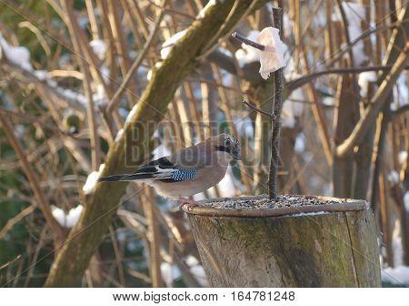 bird jay (garrulus glandarius) on forest background