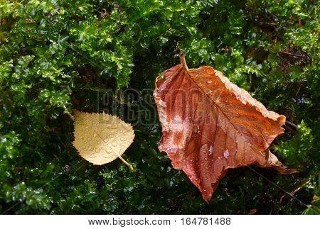 Rain Drops On Abscissed Leaves