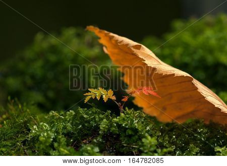 Little tree growing on forest floor covered by big abscissed leaf - refuge concept