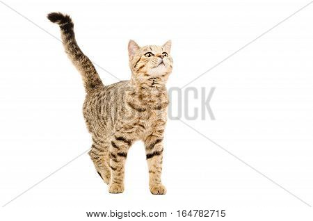 Young curious cat Scottish Straight isolated on white background
