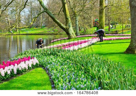 Lisse, Netherlands - April 4, 2016: People taking care of flowers, tulips and hyacinth flowerbeds in Keukenhof spring garden, Holland