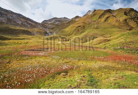 cotton grass on marsh in Alp mountains
