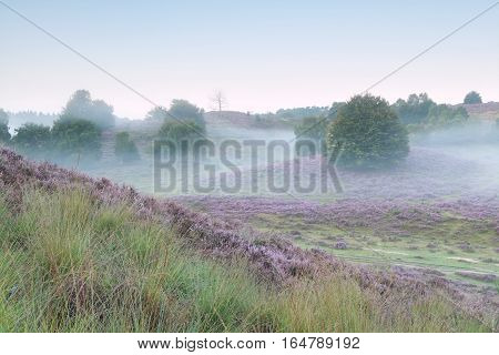 tranquil misty morning in heather hills with oak trees