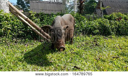 The boar were fed in the village