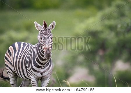 Zebra Starring At The Camera.