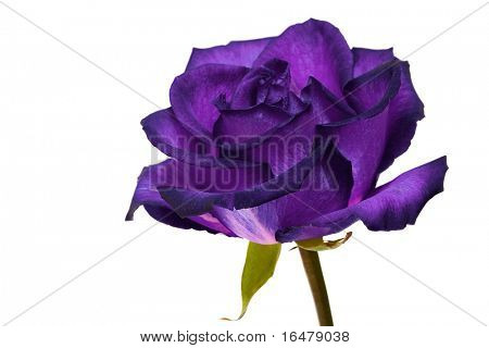 violet rose on white background