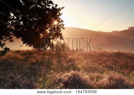 sunbeams through oak tree branches over heather flowers