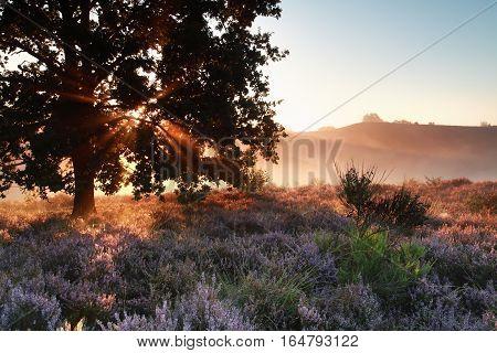 sunbeams through oak tree over heather flowers Netherlands