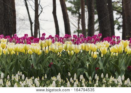 The Flower color Tulips at Hitachi Park Tochigi Japan