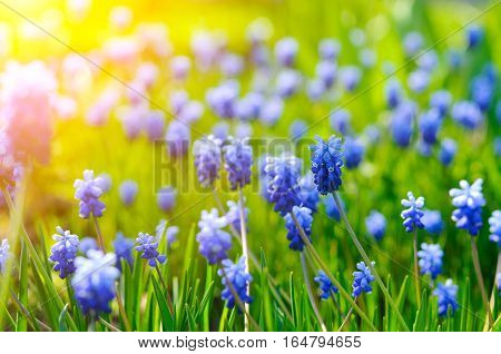 Many Grape Hyacinth or Muscari Latifolium botryoides flower bulbs blooming blue in the early spring season