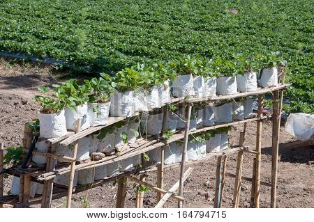 Row of strawberry for sale in the Strawberry field agricultural garden in Northern of Thailand.
