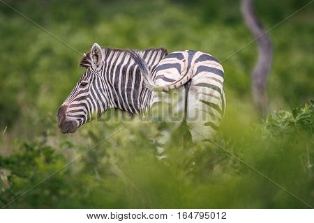 Zebra Rubbing His Neck On A Piece Of Wood.