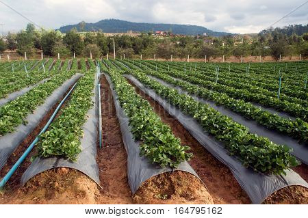 Strawberry field agricultural garden in Northern of Thailand.