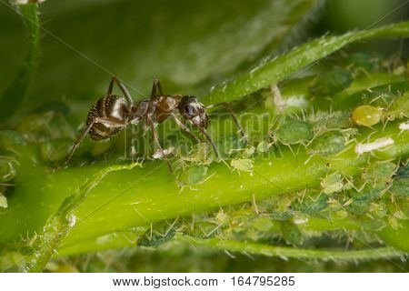 The symbiosis of ants and aphids. Ant tending his flock of aphids