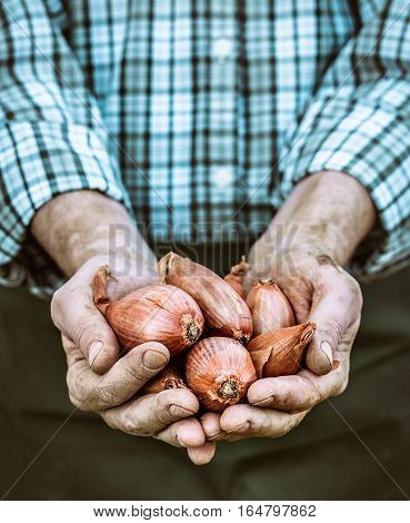 Organic vegetables. Farmers hands with freshly harvested vegetables. Fresh organic onion