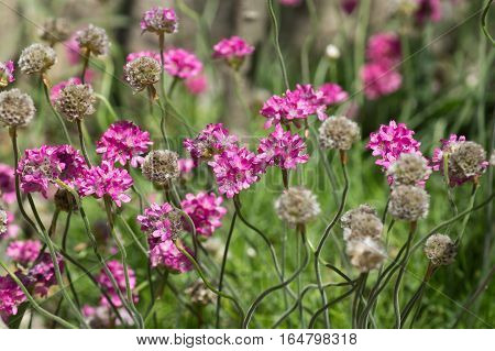 Thrift seaside (lat. Armeria maritima (Mill.) vulgaris Willd) in the flower bed in the Park