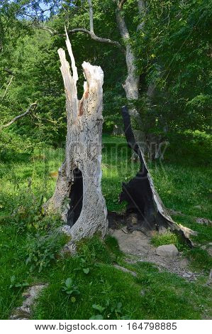 A hollow tree trunk which has been burned in the center by a forest fire surrounded by green field