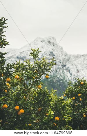 Orange trees with ripe oranges in mountain garden in Dim Cay district of Alanya, Antalya province, Mediterranean Turkey