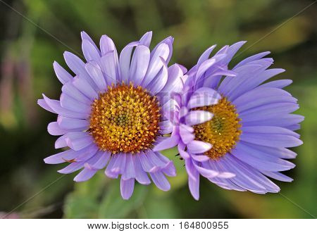 Pink Wildflowers, blooming sub alpine Daisy's close up