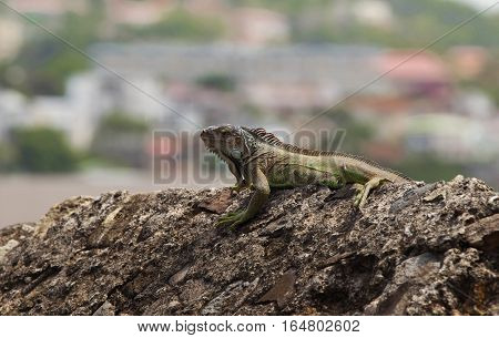 The green Iguana of Martinique island, French West Indies.