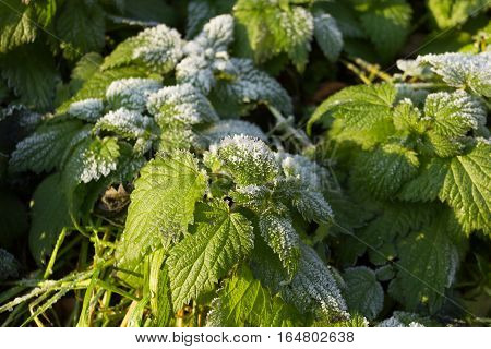 STINGING NETTLE (Urtica dioica), flower, winter, snow