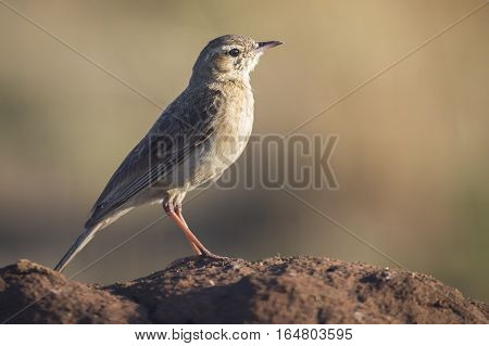 African Pipit sitting on a ground mound in the early morning sun with a blurred backgrounf