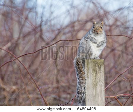 A grey squirrel perched on a wooden post.