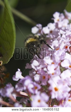 Bumblebee extracting nectar from pink flowers insect, bumble bee isolated with green leaf background
