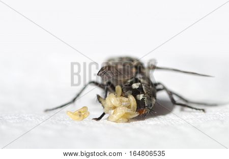 Blowflies with larvae on a white background