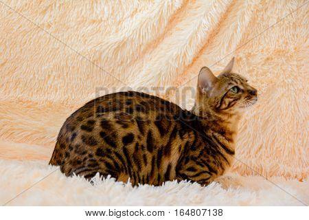 cute beautiful Bengal cat on the carpet.