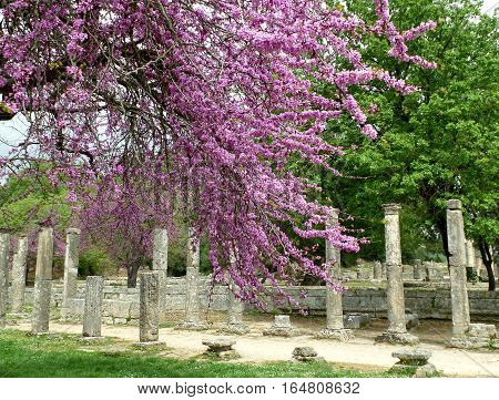 The Columns and Ruins Amongst Beautiful Pink Flowers at Olympia Archaeological Site of Greece