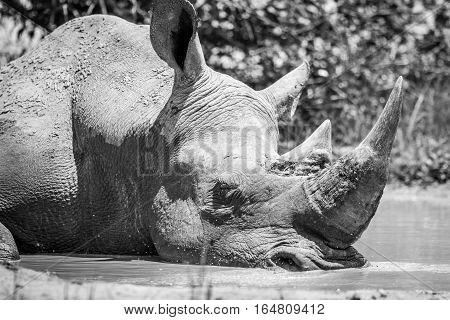 White Rhino Sleeping In Black And White.