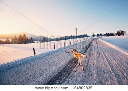 Dog on the winter road. Yellow labrador retriever is walking with stick in mouth.